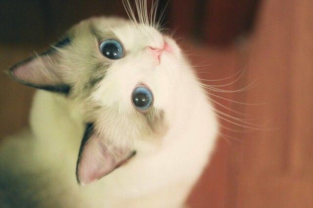 Rawad Wb ล กแมว แมวน อย แมว