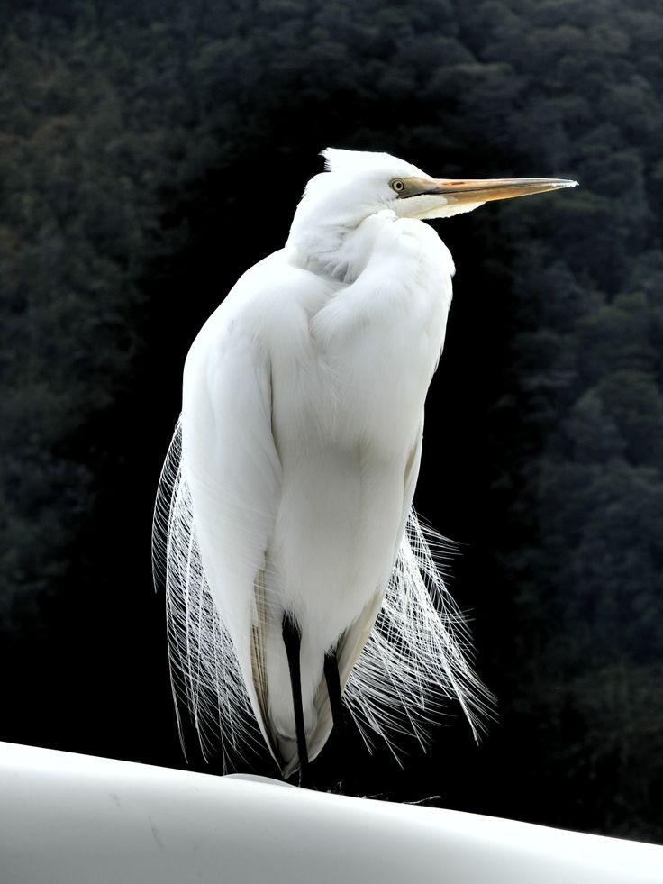 New Zealand White Heron. By K.Rodaja