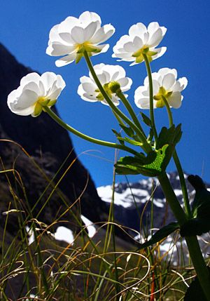 Mount Cook Lily, Milford Sound, South Island, New Zealand