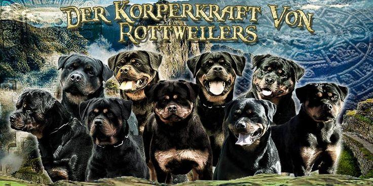 DKV Rottweilers - German Rottweiler breeder offering Rottweiler puppies for sale, Rottweiler youths for sale, Rottweiler adults for sale, and Rottweiler imports for sale. DKV Rottweilers offer Rottweiler puppies for sale for showing, Rottweiler puppies for sale for schutzhund, and Rottweiler puppies for sale for companionship. All DKV Rottweilers, Rottweiler puppies for sale, Rottweiler youths for sale, Rottweiler adults for sale, and Rottweiler imports for sale can be shipped by DKVR…