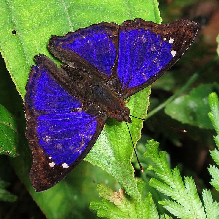 Cramer's Emperor(Doxocopa agathina)  Ecuador