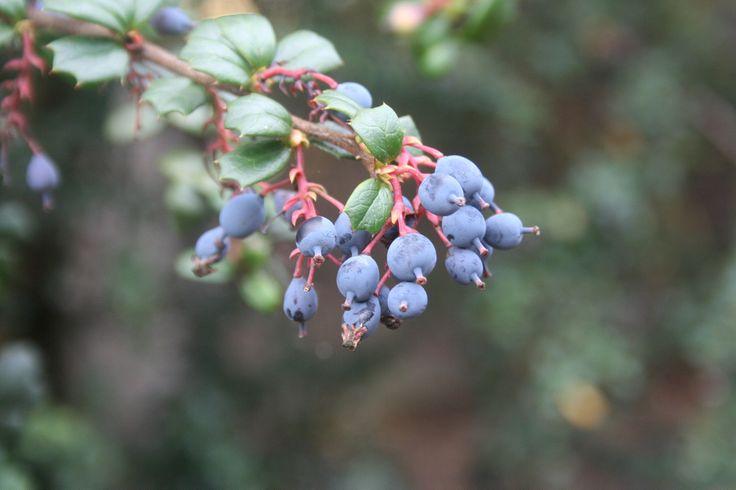 Berberis darwinii - Edinburgh botanical garden