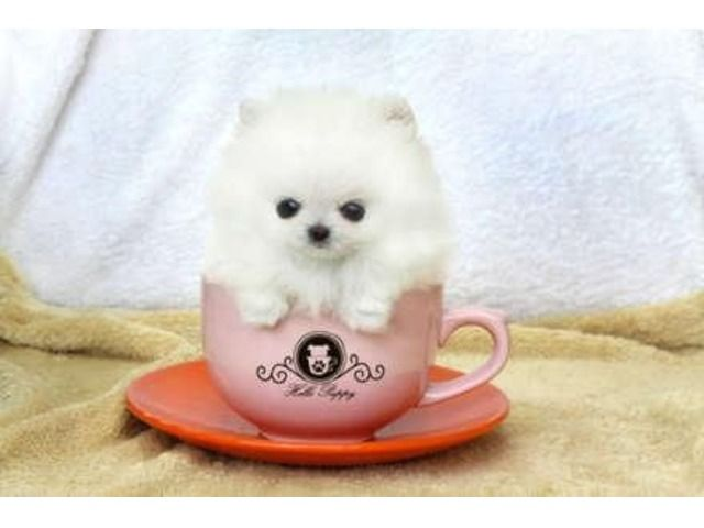 12 Weeks Old Teacup Pomeranian Puppies For Adoption Animals Mountain View California Announcement 2 Cute Pomeranian Teacup Pomeranian Pomeranian Puppy