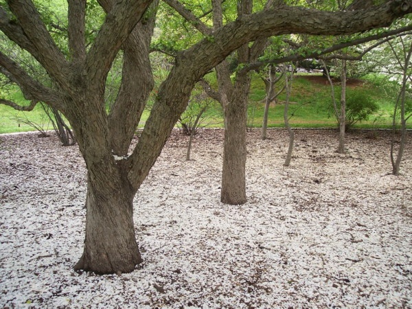 Arnold Arboretum, Jamaica Plain, MA.