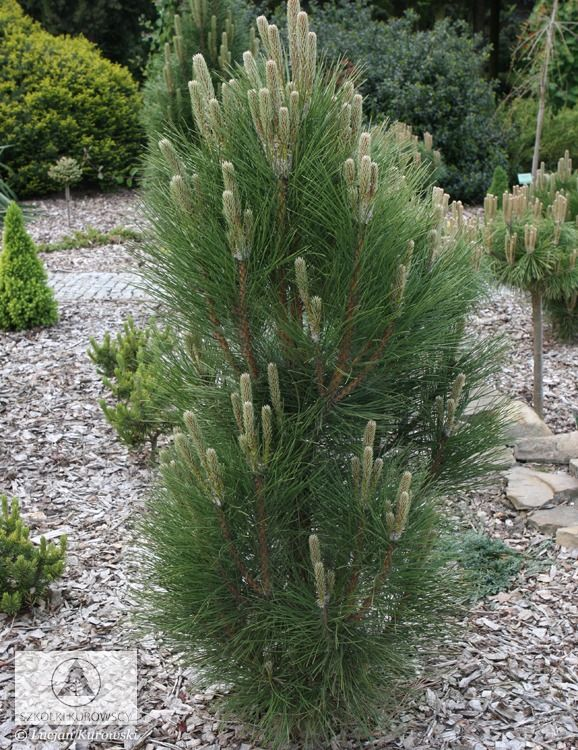 Pinus nigra 'Green Rocket' - Sosna czarna 'Green Rocket'