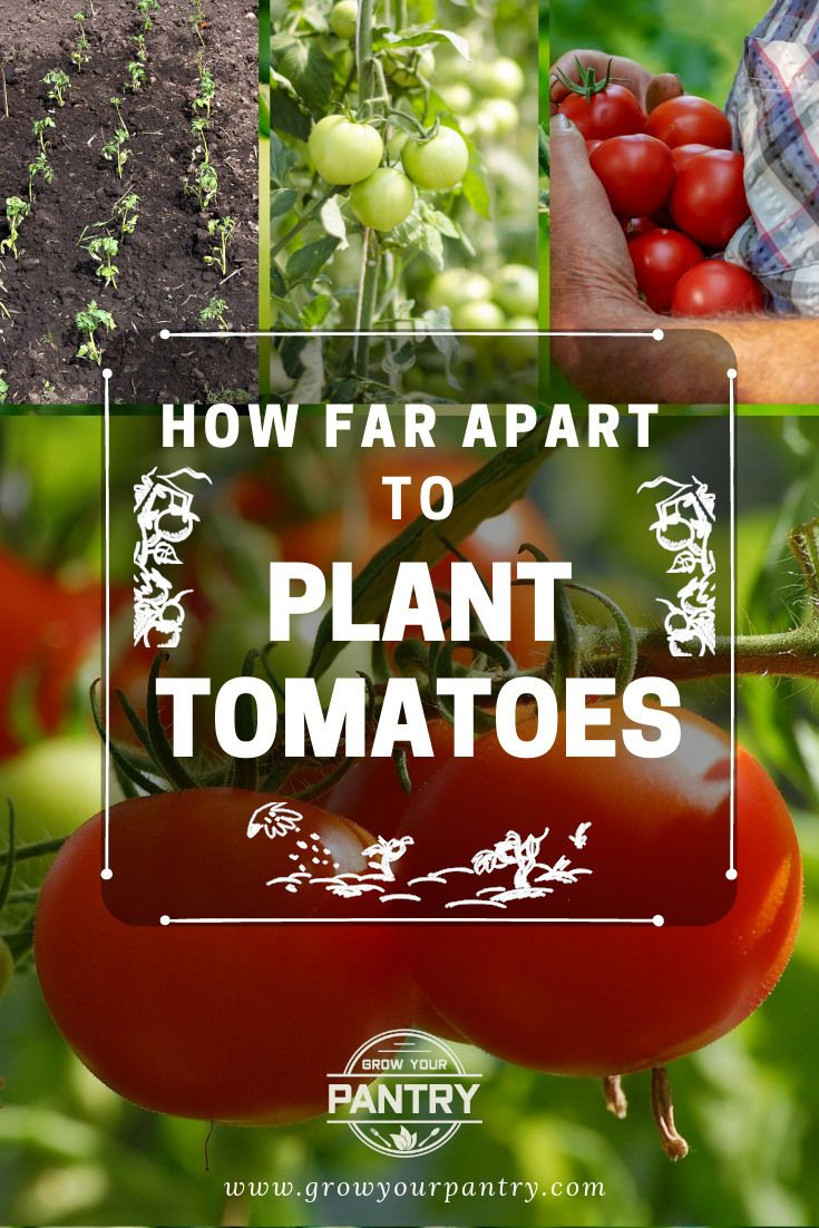 How Far Apart To Plant Tomatoes The Quick Answer Tomato Growing Tomatoes Growing Vegetables