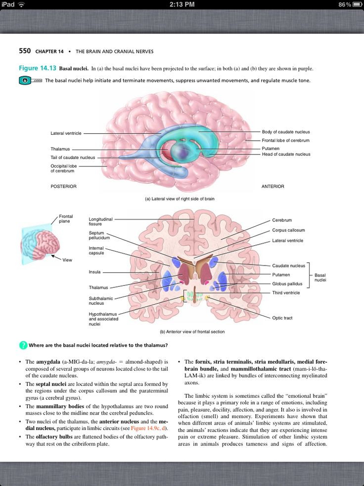 Lujo Anatomy And Physiology Chapter 14 The Brain And Cranial Nerves ...