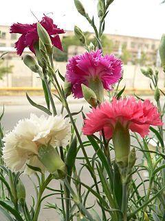 Dianthus caryophyllus - Wikipedia, la enciclopedia libre