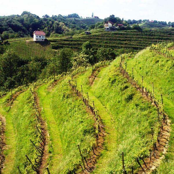 groene Haloze wijngaarden in Oost Slovenië  / #wijn #reizen #vakantie #Slovenië / @MijnsLOVEnie / www.mijnslovenie.com