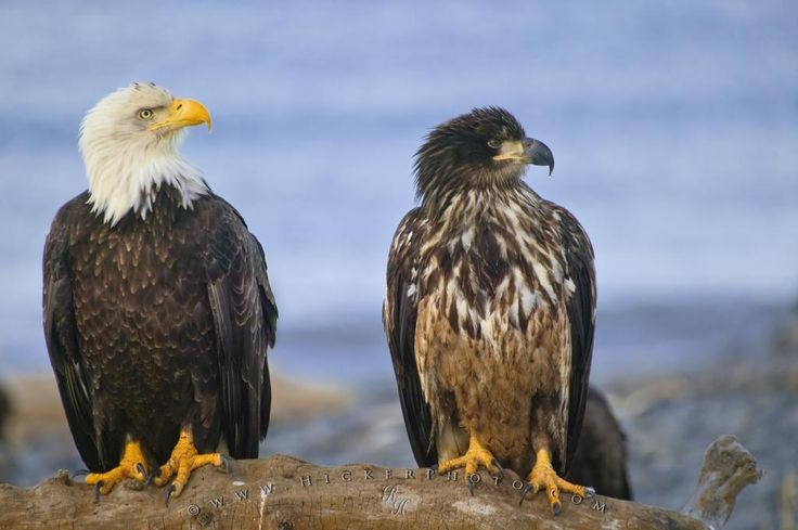 Two Bald Eagles  A symbol of strength, pride and in this case unity, in the USA - two bald eagles (an adult and juvenile) sit side by side on an old tree stump along the beach in Homer, Alaska with the waters of Kachemak Bay in the background.
