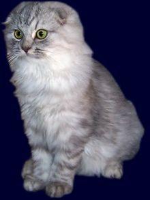 Schottische Faltohrkatze - #scottishfoldcats - Different type of Scottish Fold Cat Breeds at Catsincare.com