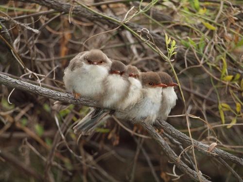 Fairy wrens Wilson's Promontory by John Mc123 on Flickr.  Quelle: fat-birds