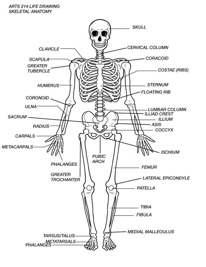 15 Skeletal System Drawings Skeletal Anatomyd Net In 2020 Human Skeleton Model Human Skeleton Labeled Human Skeleton