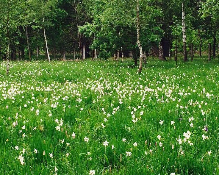Anul acesta, 2016, Festivalul Narciselor va avea loc pe data de 22 mai, in Dumbrava Vadului! - Lady