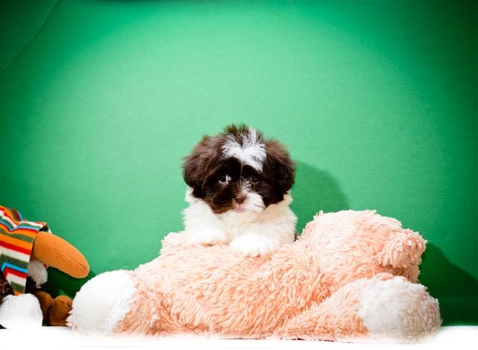 BUY our HAVANESE PUPPY FOR SALE NEAR CLEVELAND OHIO!!! Anthony loves to eat chicken and play video games. At night you will find him hanging out with jenna. He is all ready for a loving family to bring him home.   http://affordablepup.com/puppies/Havanese/Male/Anthony
