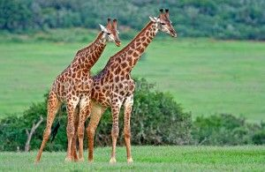 What are the tallest animal on the world? It's the giraffe. Know the length of their neck and legs and more fun giraffe facts for kids in this  science article: http://www.easyscienceforkids.com/all-about-giraffes.html