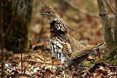 Grouse Recipes (includes grouse pizza! )
