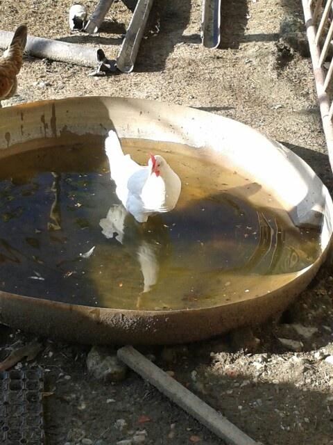 A  chicken very strange!!!!