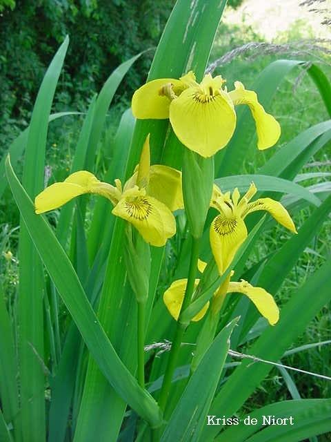 Photo de fleur : Iris des marais - Flambe d'eau - Iris faux acore - Iris jaune - Iris pseudacorus - Yellow flag