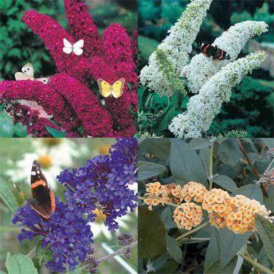 Dwarf Butterfly Bushes For Sale Butterfly Bush