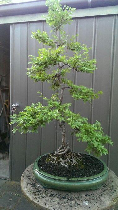 Corky bark chinese elm