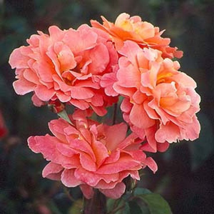 Elizabeth of Glamis Rose: Floribundas (cluster roses); 1964; bush, continuous flowering, scented, tolerate small amount of shade, quite thorny, not very disease resistant, attracts bees. Feed with potash in late July.