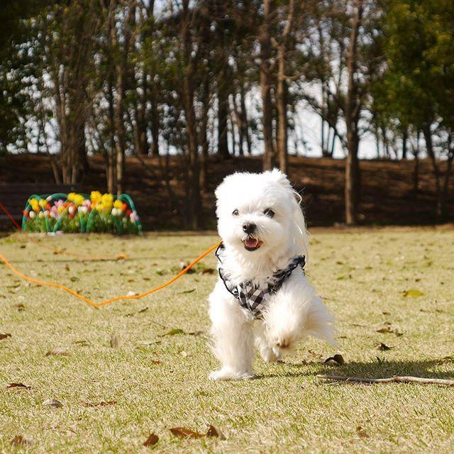 Resultado de imagen para maltese 犬 走る