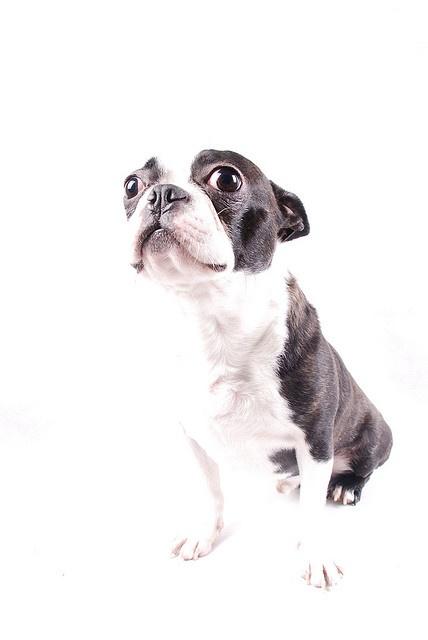 Boston Terrier...