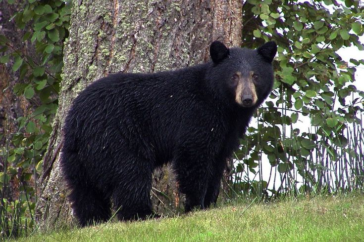 Oso Negro, Animales, Negro, Lago Canim, Canadá