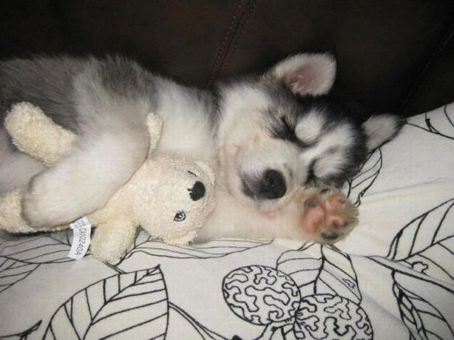 Husky Baby Sleeping Huskybebe Animals Cute Animals Cute Dogs