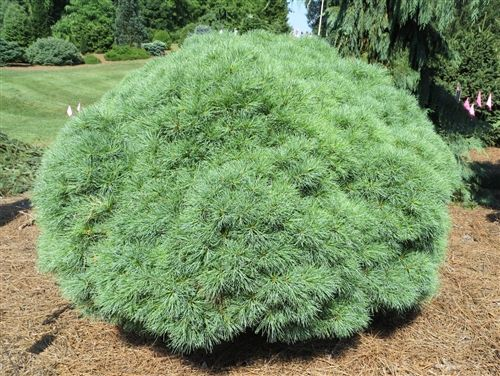 Pinus strobus 39 sea urchin 39 sea urchin eastern white pine for Garden trees shrubs