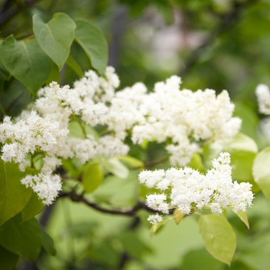 The Japanese Tree Lilac features blooms of creamy-white flowers. More small trees:  http://www.bhg.com/gardening/trees-shrubs-vines/trees/popular-small-trees/?socsrc=bhgpin100813treelilacpage=17