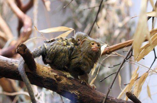 Wilhelma in Bad Cannstatt Daumengroßer Nachwuchs -  Die kleinsten Affen der Welt haben Nachwuchs bekommen. Die Zwergseidenäffchen sind nicht nur hübsch anzuschauen und haben einen gesegneten Appetit, sondern auch ganz spezielle Familienbande. Das ist zurzeit im Jungtieraufzuchthaus zu sehen. http://www.stuttgarter-zeitung.de/inhalt.wilhelma-in-bad-cannstatt-daumengrosser-nachwuchs.efd4109a-c538-458a-8156-c727eb534ac7.html