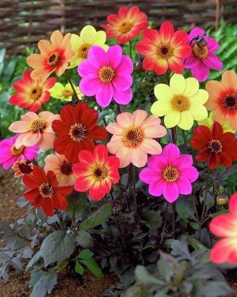 Yıldız çiçekleri,