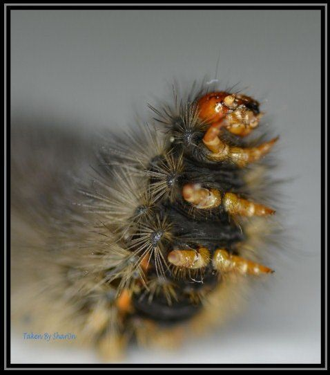 Macro Phototgraphy - Black Fury Caterpillar - InfoBarrel Images