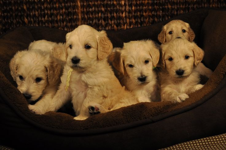 Goldendoodle Puppy Puppies Miniature Medium Standard Goldendoodle ...