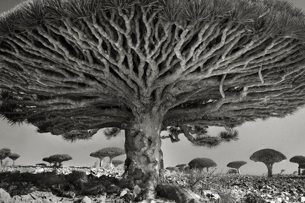 Самые старые деревья на Земле | Земля - Хроники жизни