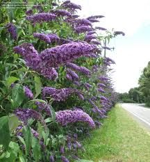 Butterfly Bush (Zone 5 – 9 ) is a fast grower with droopy, graceful panticles of pink, yellow, white, or purple flowers that bloom in summer. 5 – 10′ tall, drought and heat tolerant. Plant in full sun. Prune hard in late winter as flowers emerge from new growth. Attracts butterflies.
