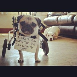 A pug's gotta establish dominance somehow. | 23 Photos That Prove Pug Shaming Is The Best Kind Of Dog Shaming