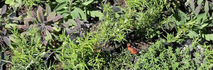 1000 id es sur le th me cultiver de la menthe sur pinterest l 39 arrosage des plantes herbes. Black Bedroom Furniture Sets. Home Design Ideas