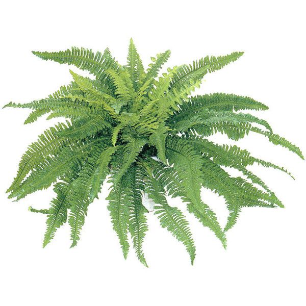 42 inch Self Shaped Artificial Boston Fern Plant Unpotted ($38) ❤ liked on Polyvore featuring home, home decor, floral decor, fillers, plants, fillers - green, fillers - plants, flowers, magazine and flower stem