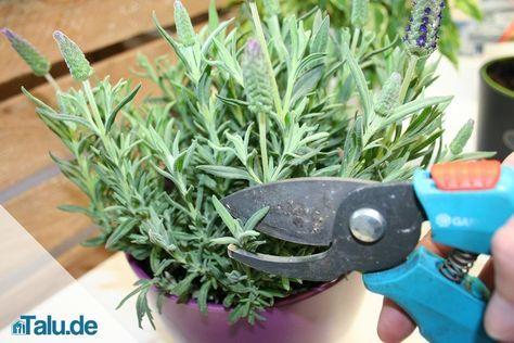Wann und wie weit sollte man Lavendel zurückschneiden? Kostenlose Anleitung...