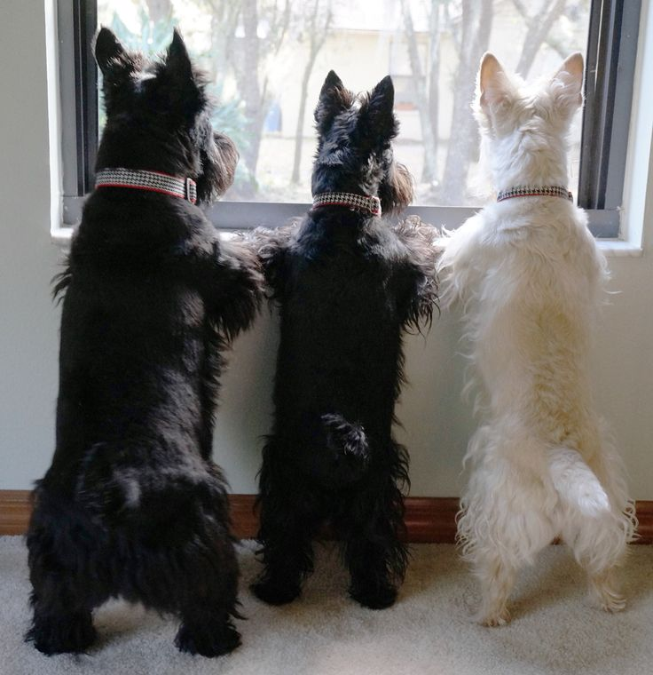 Scottish Terrier Watch Dogs ️ | Scottie | Cute dogs breeds ...