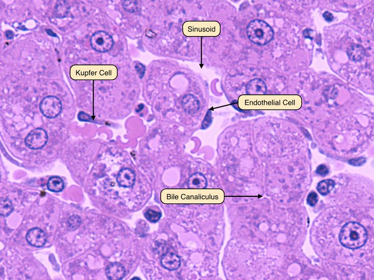 undefined | Histology | Pinterest