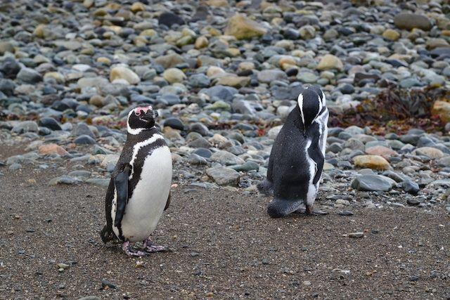 Magellanic Penguin Colonies at Isla Magdalena #chile