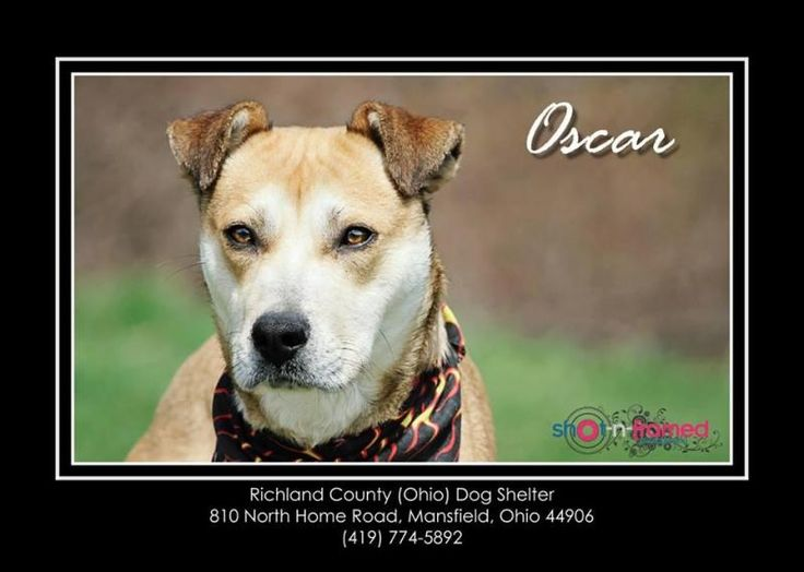 Adopted oscarshepherd hound mix adult male