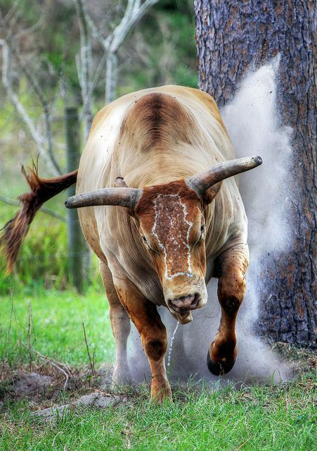 Charging Brahma Bull | by John Boy Ware