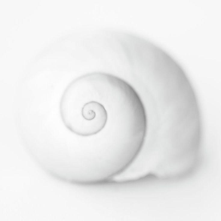 White Spiral Shell Canvas Print Art By Sue Hammond