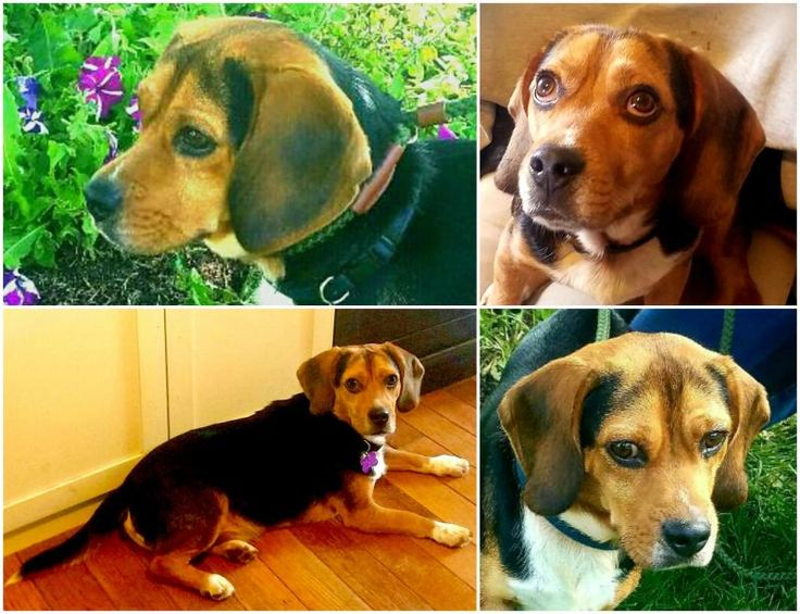 Meet TOBY, an adoptable Beagle looking for a forever home. If you're looking for a new pet to adopt or want information on how to get involved with adoptable pets, Petfinder.com is a great resource.