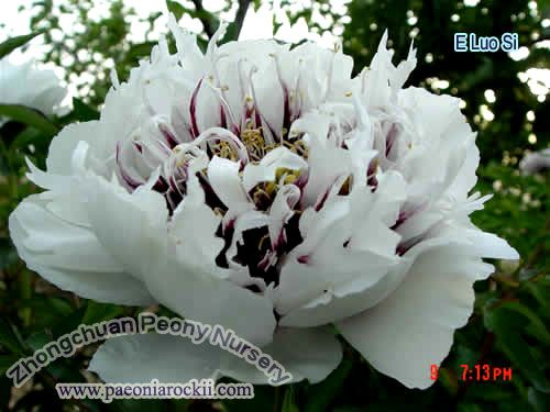 "Wow ... I never saw this type of peony before from Russia ""Paeonia rockii"""